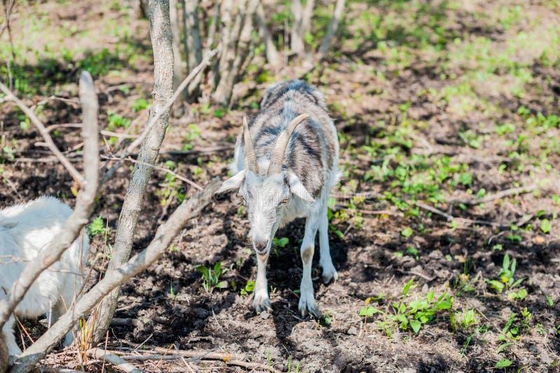 Download Коза в древесине стоковое фото. изображение насчитывающей смотреть - 81810122