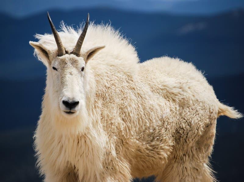 Коза горы в горах ` s Колорадо скалистых, Соединенных Штатах стоковые изображения rf