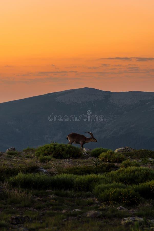 Коза горы стоковое изображение