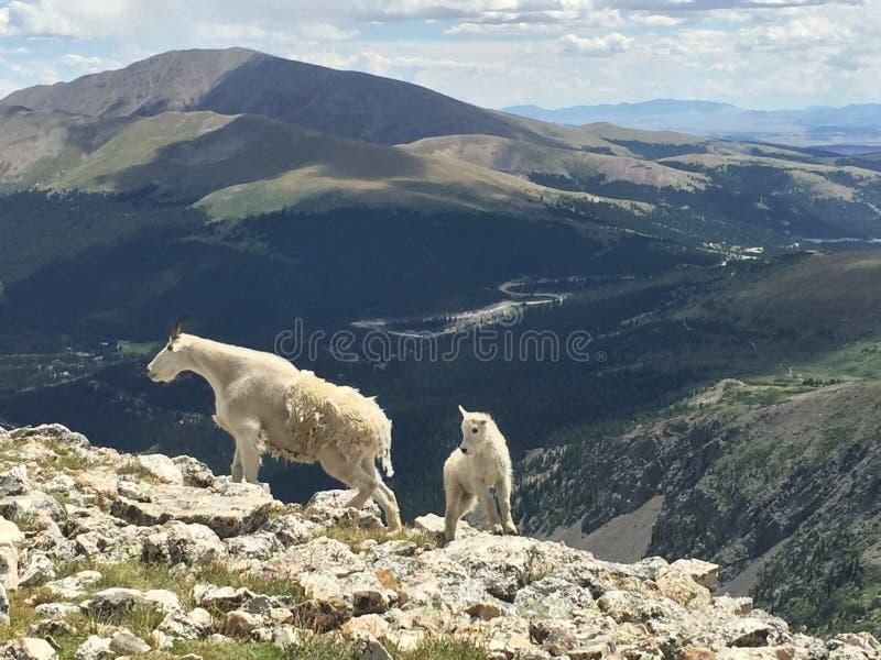 Коза горы матери и младенца на пике Колорадо затруднительного положения стоковое фото