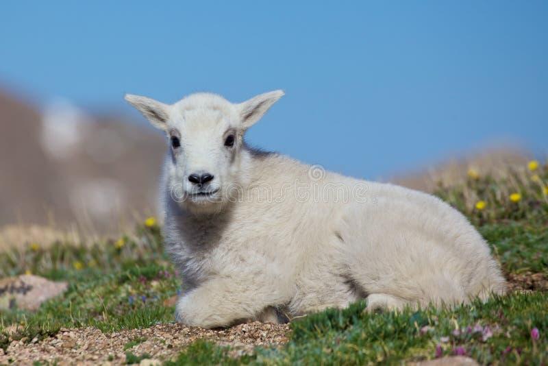 Коза горы младенца стоковые фото