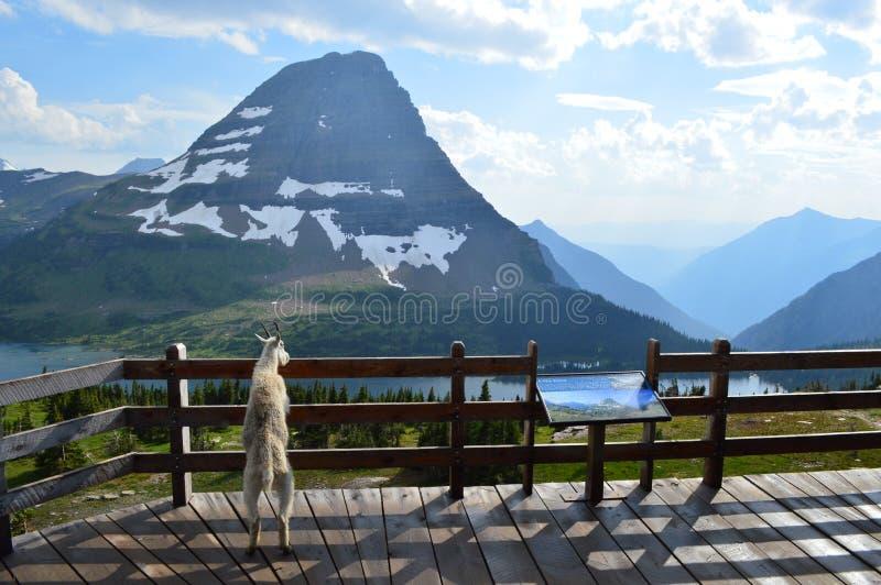 Коза горы наслаждаясь взглядом на национальном парке ледника стоковое изображение