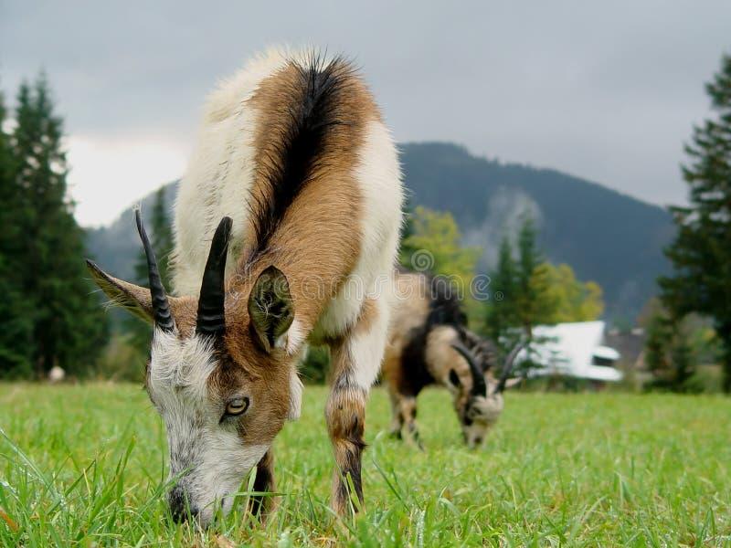 Коза горы на луге стоковое изображение