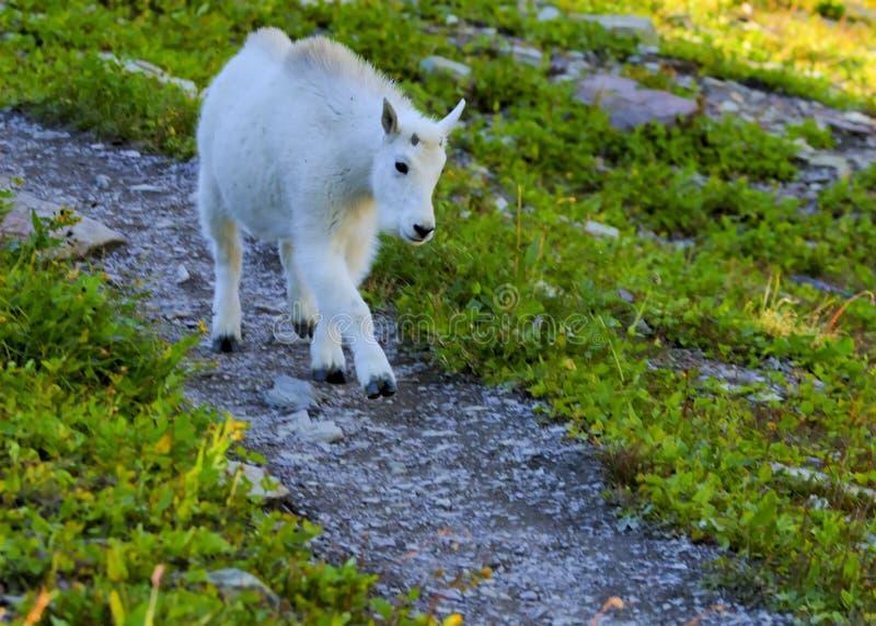 Коза горы ребенк в национальном парке ледника стоковое изображение