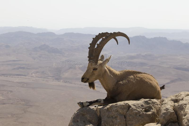 Коза горы с изогнутыми большими рожками и бородой лежит на утесе стоковое фото rf