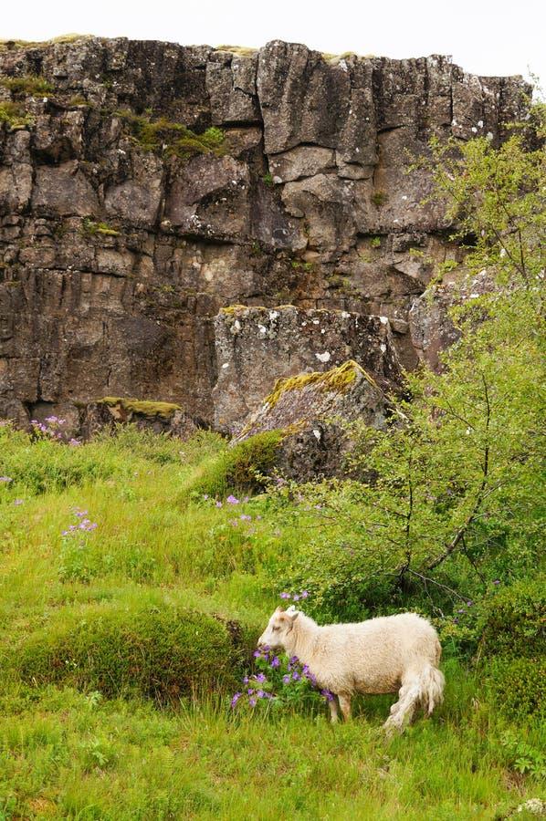 Коза есть цветки в национальном парке Thingvellir, Исландии стоковые фото