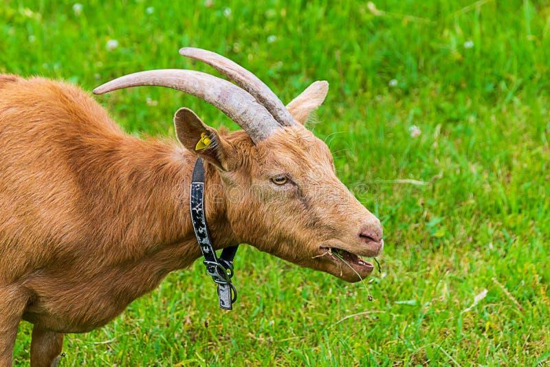 Коза ест траву на выгоне стоковая фотография