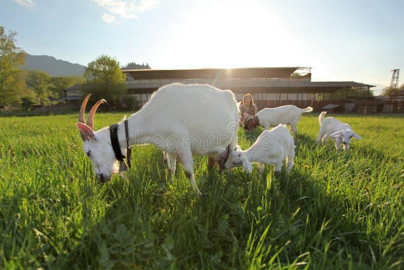 Коза и дети матери пася на зеленом луге, широкоформатное фото с освещают установку контржурным светом солнца над фермой в предпос стоковая фотография rf