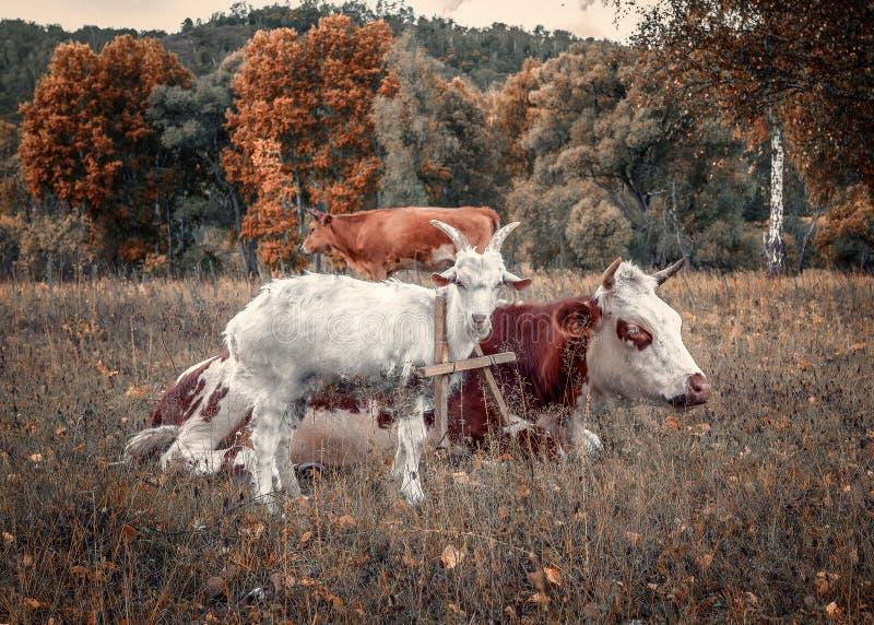 Коза и корова на луге осени стоковые фотографии rf