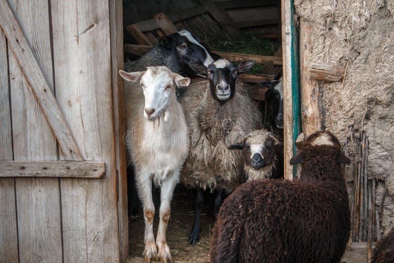 Коза и овцы в входе амбара Табун любимчика на ферме стоковое изображение