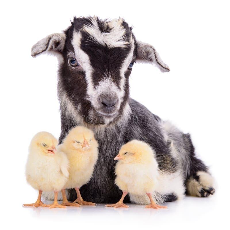 Коза и цыплята стоковое изображение