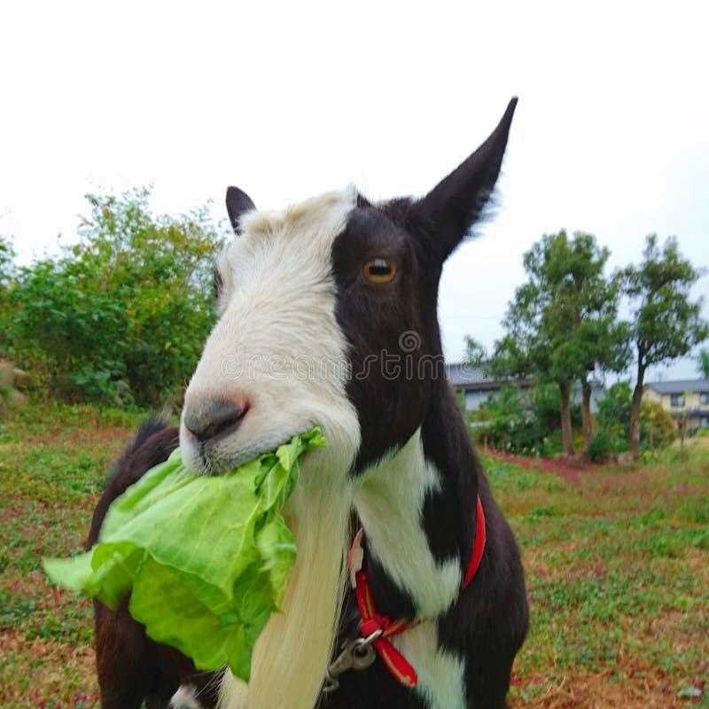 коза капусты стоковые изображения rf