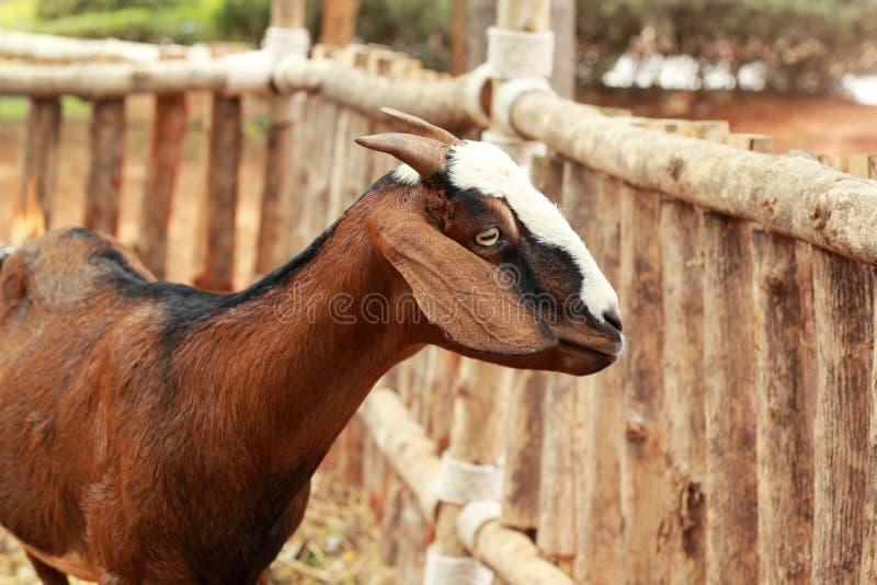 Download Коза конца-вверх в ферме стоковое изображение. изображение насчитывающей шерсть - 40577817