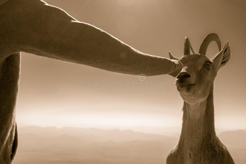 Коза на Марсе стоковое фото
