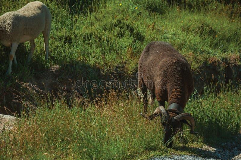 Коза пася на зеленом sward с кустами стоковые фотографии rf