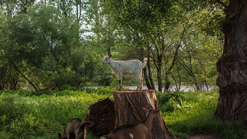Коза рекой стоковое фото rf