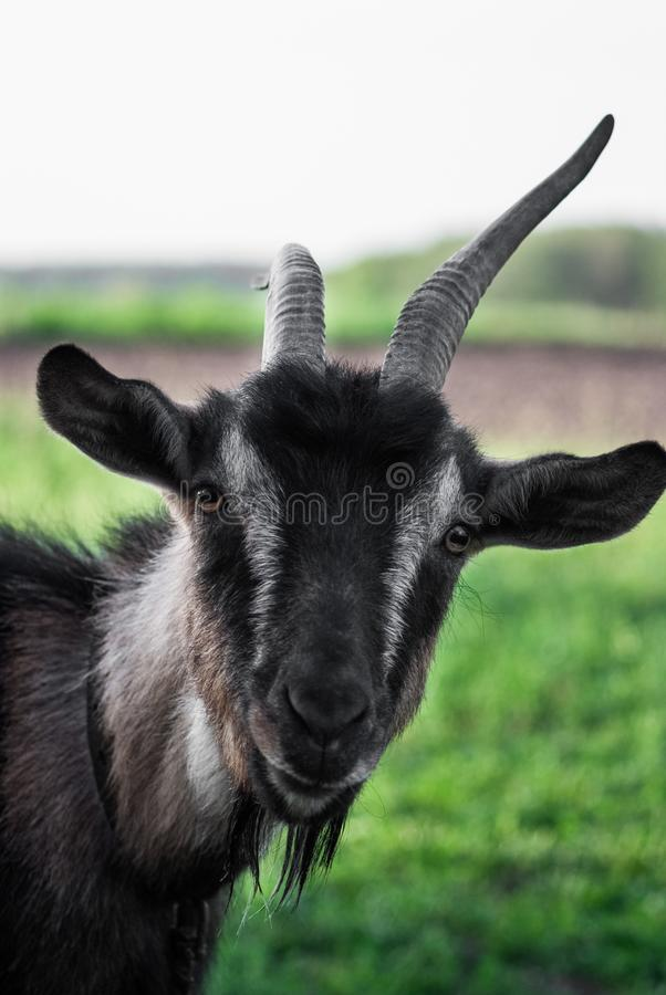 Коза смешной стороны малая, коза Брайна, отечественная коза, портрет козы Брайна стоковые изображения rf