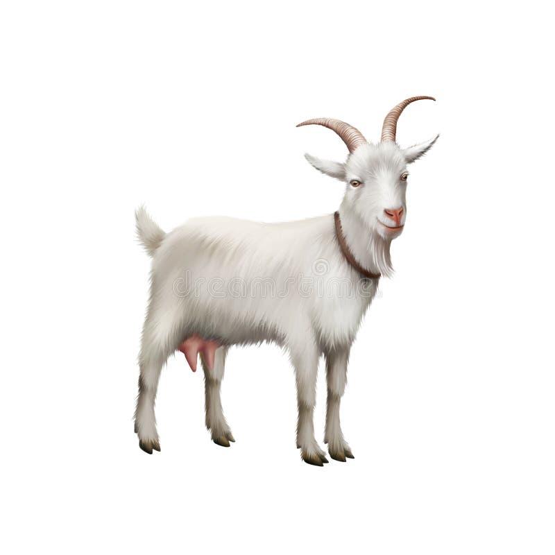Коза стоя вверх изолированный на белой предпосылке стоковые изображения rf