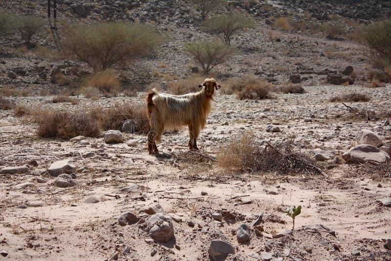 Коза с золотыми волосами: Вади Shab, Оман стоковые изображения rf