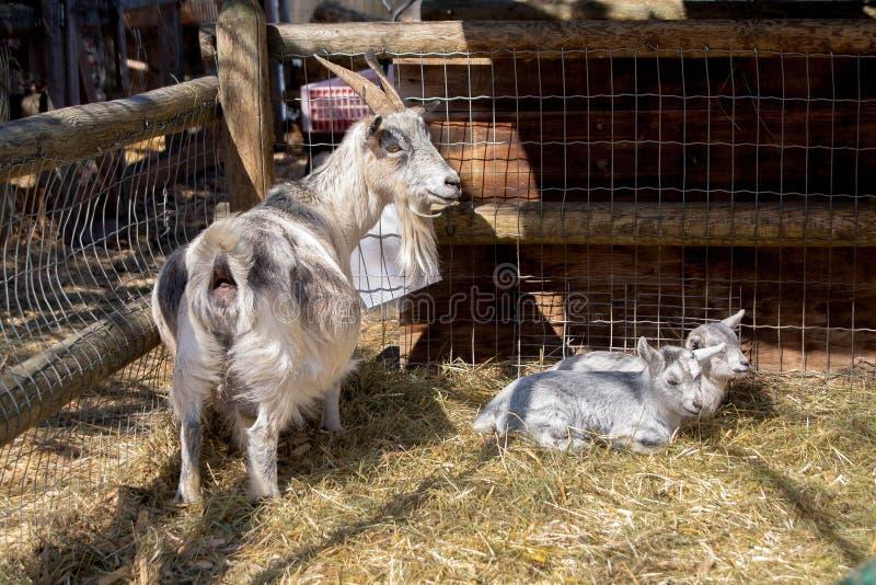 Коза с их младенцами, грудь с их детьми стоковое фото