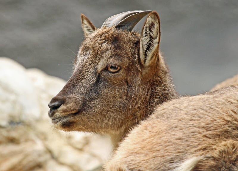 Коза стоковое изображение rf