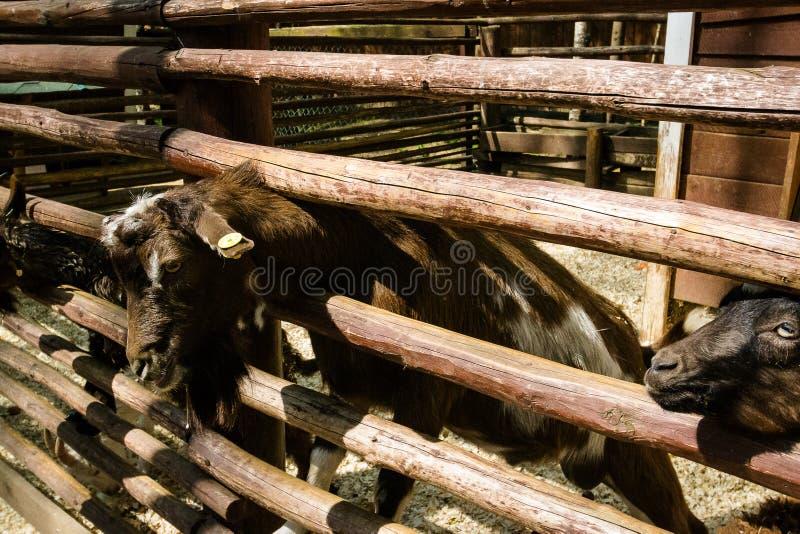 Коза стоковая фотография rf