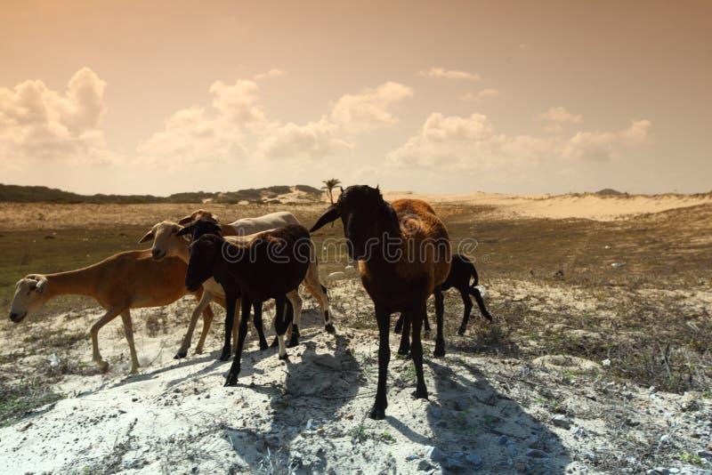 козочки пустыни стоковая фотография