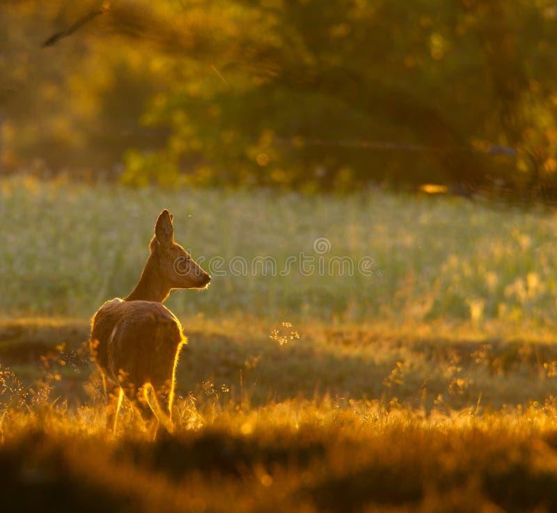 козули лани оленей светлые moring стоковые фотографии rf