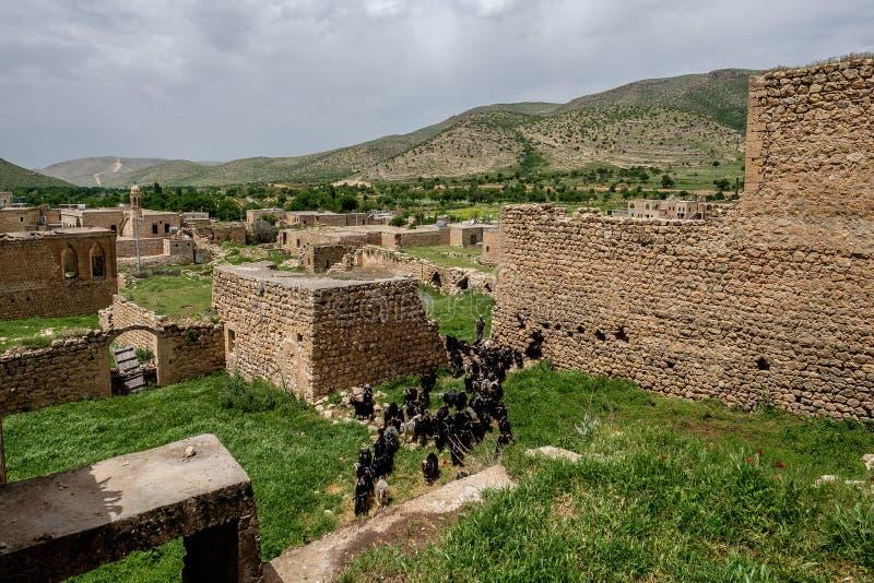 Козы в покинутой деревне в Dereiçi, Турции стоковые изображения rf