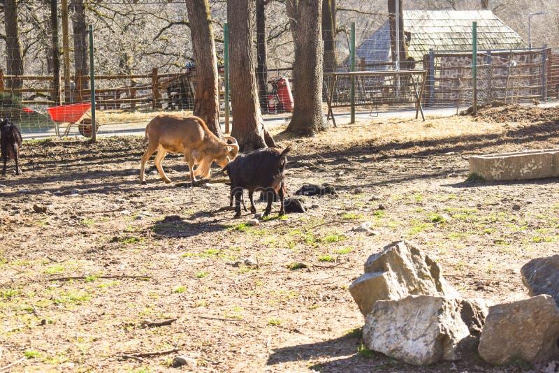 Козы в ферме деревни в солнечном весеннем дне стоковая фотография