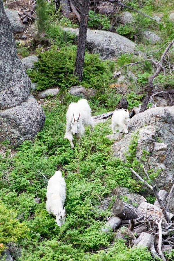 3 козы горы милой стоковая фотография rf