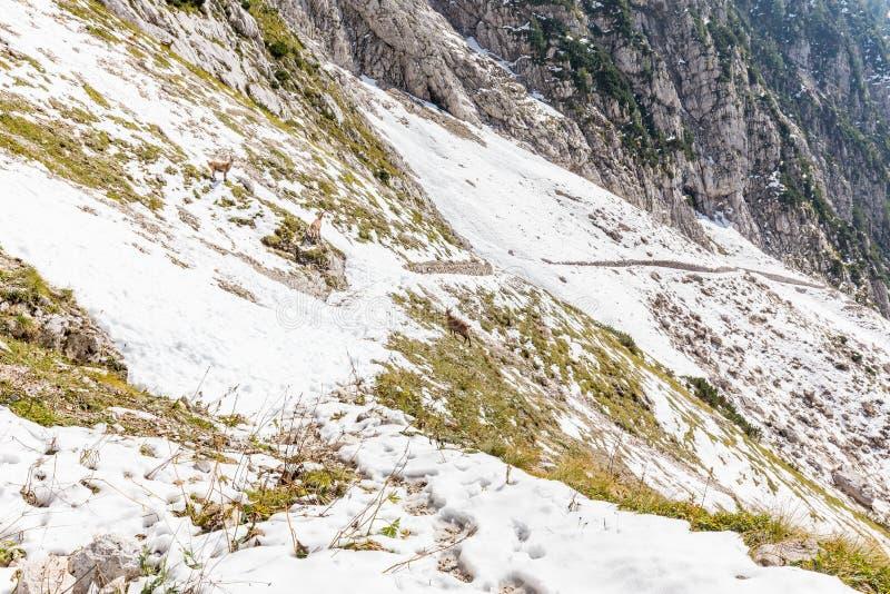 Козы горы на следе покрытом снегом стоковое фото rf
