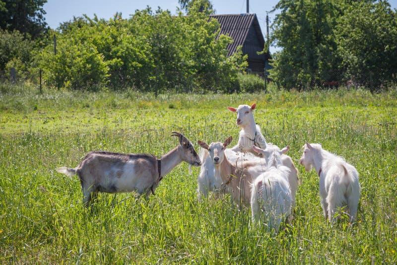 Download Козы на выгоне в летнем дне Стоковое Изображение - изображение насчитывающей гулять, россия: 41657097
