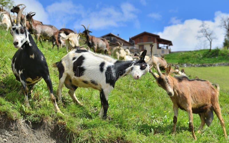 козы bumping друг против друга в луге стоковые фотографии rf