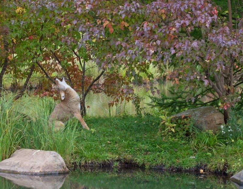 койот завывая стоковое фото