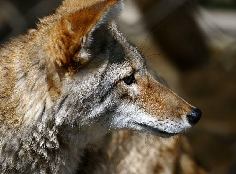 Download койот стоковое фото. изображение насчитывающей койот, млекопитающие - 483592