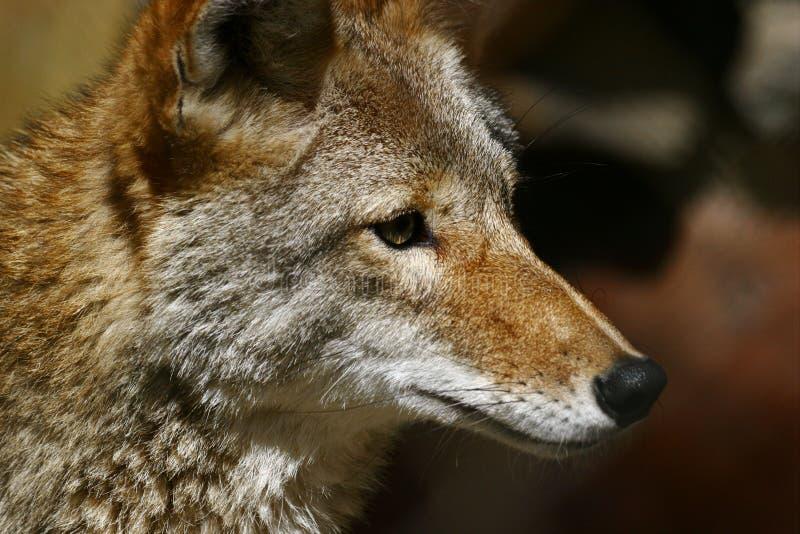 Download койот стоковое изображение. изображение насчитывающей звеец - 483617