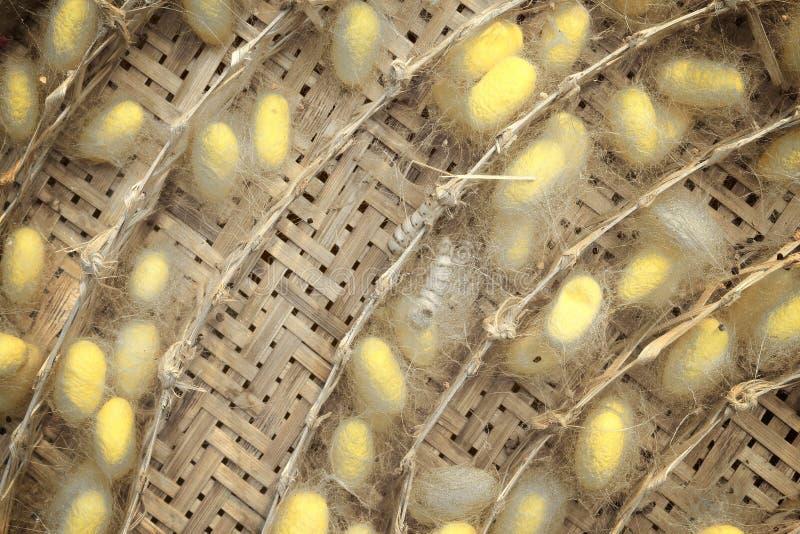 Кокон вида шелкопряда на свертывать кругом в подносе шелка стоковые изображения