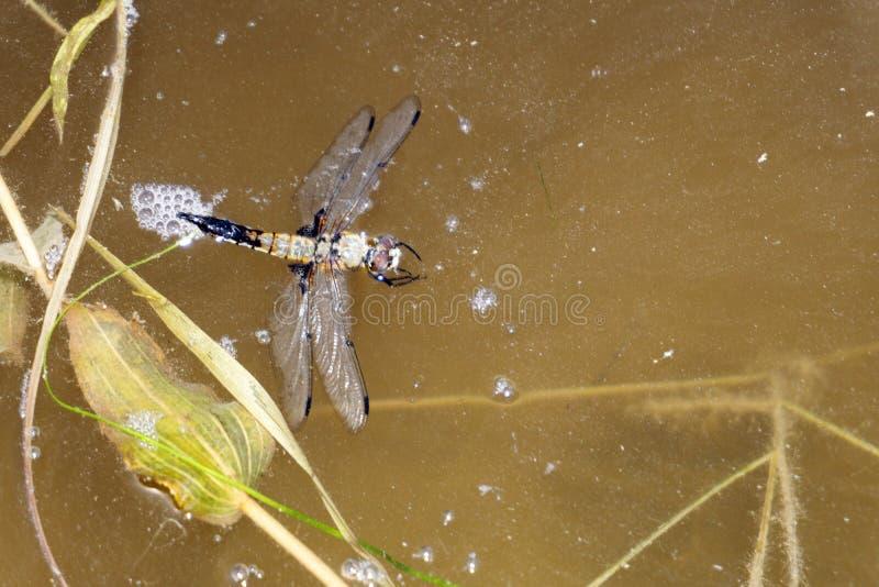 Кокон дракона ошибки личинки dragonfly близкого стоковая фотография rf