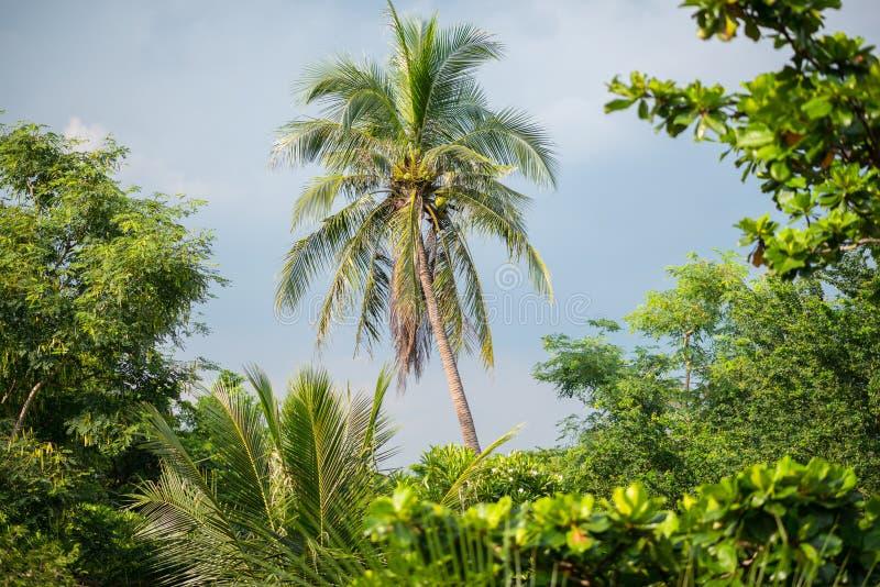 Кокосовая пальма в сочных чащах челки Kachao Krachao челки известного как зеленое легкий Бангкока стоковое изображение
