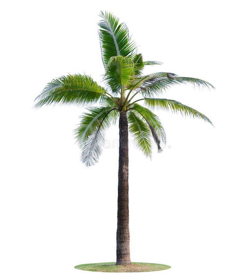 Кокосовая пальма или пальма изолированные на белой предпосылке стоковое фото