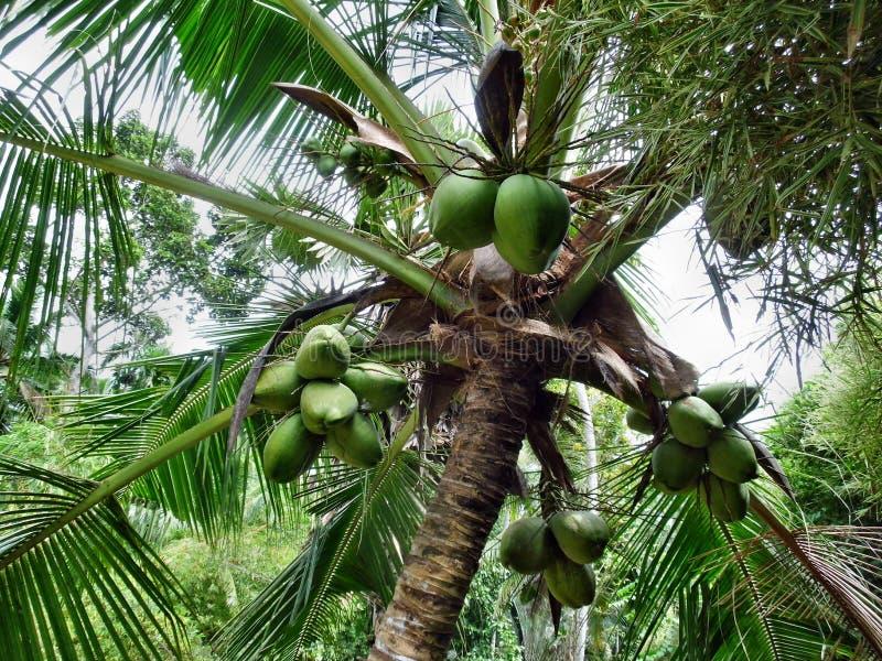 Кокосовая пальма Кералы тропическая стоковая фотография