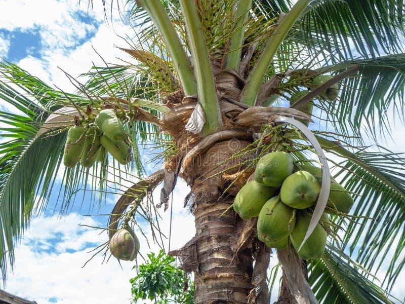 Кокосовое дерево стоковое фото