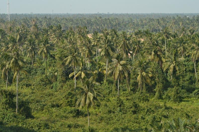 Кокосовые пальмы в Таиланде стоковое изображение rf