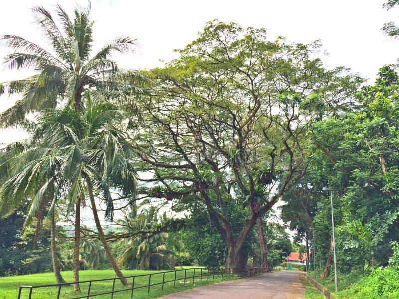 Кокосовые пальмы и дерево дождя стоковые фотографии rf