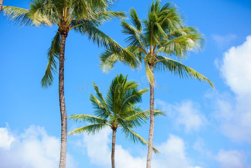 Кокосовые пальмы против красивых голубых небес устанавливать тропическим стоковая фотография rf