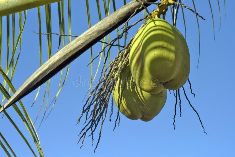 Download Кокос от Бахи неполовозрелой в дереве Стоковое Фото - изображение насчитывающей farming, подавать: 81805654