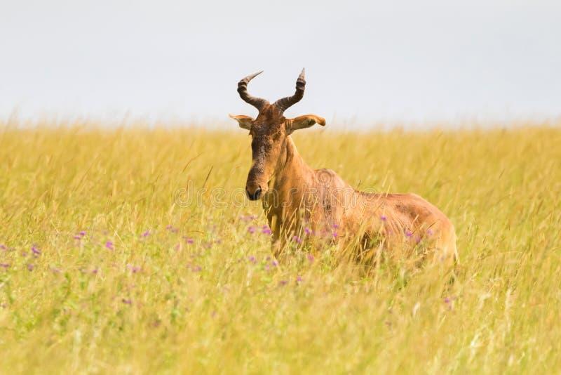 Кокс hartebeest, антилопа с v форменными рожками в открытом злаковике на национальном парке Serengeti в Танзании, Африке стоковое фото