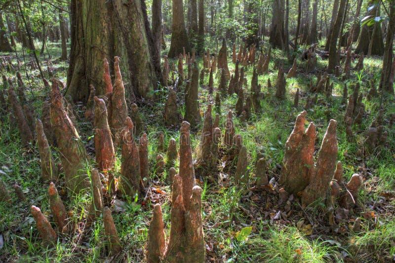 Колени облыселого Cypress, национальный парк Congaree стоковые изображения rf