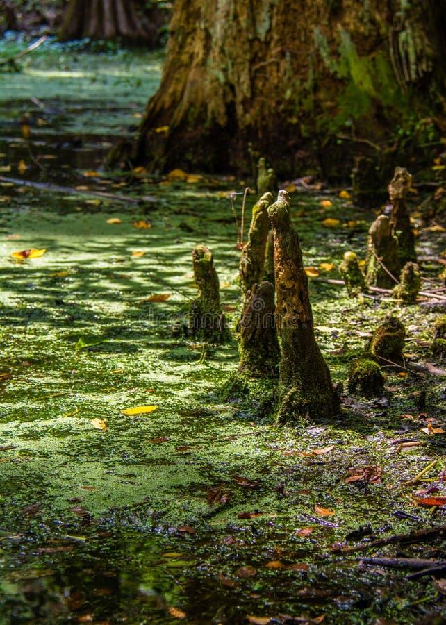 Колени Cypress возникая стоковые фотографии rf